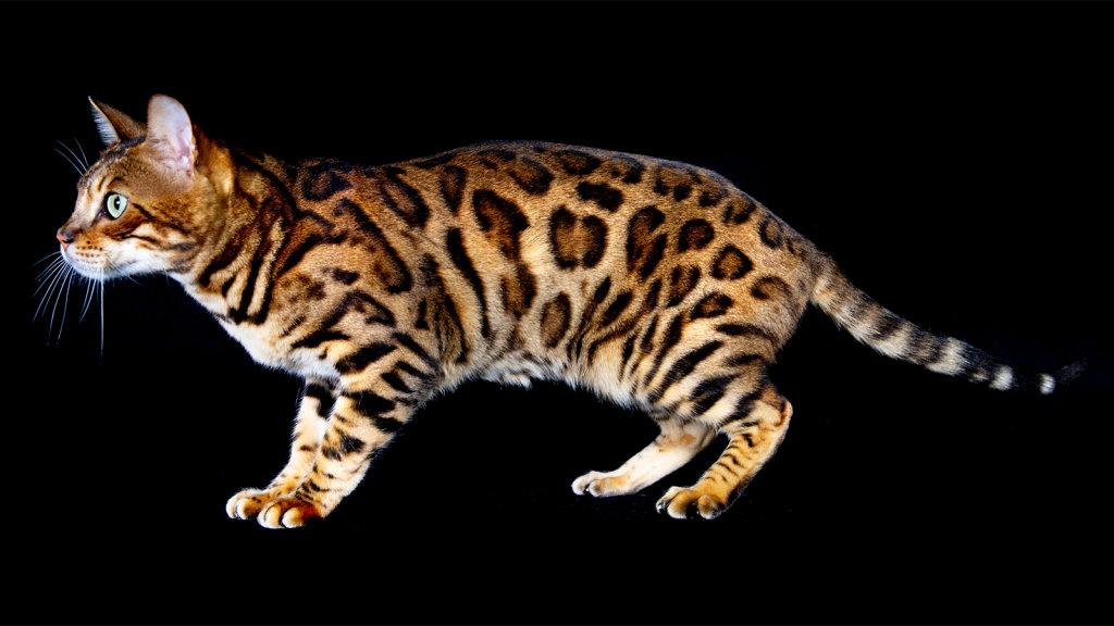 bengal-cat-1.jpg