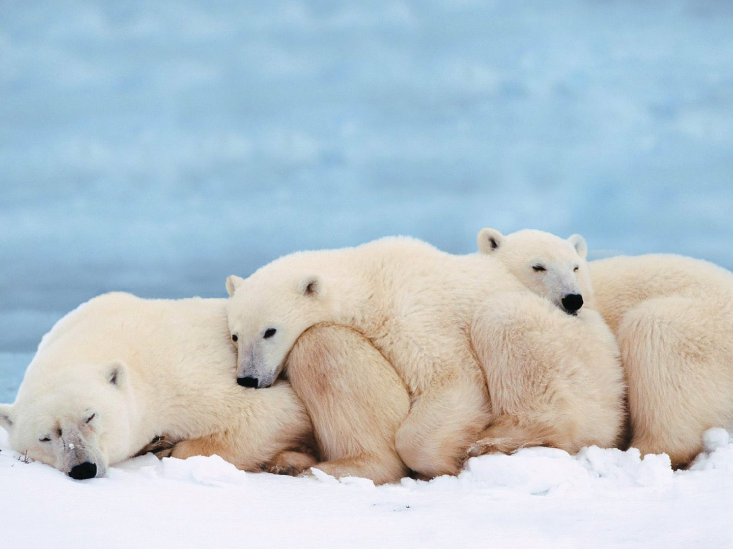Great_Polar_Bears.jpg