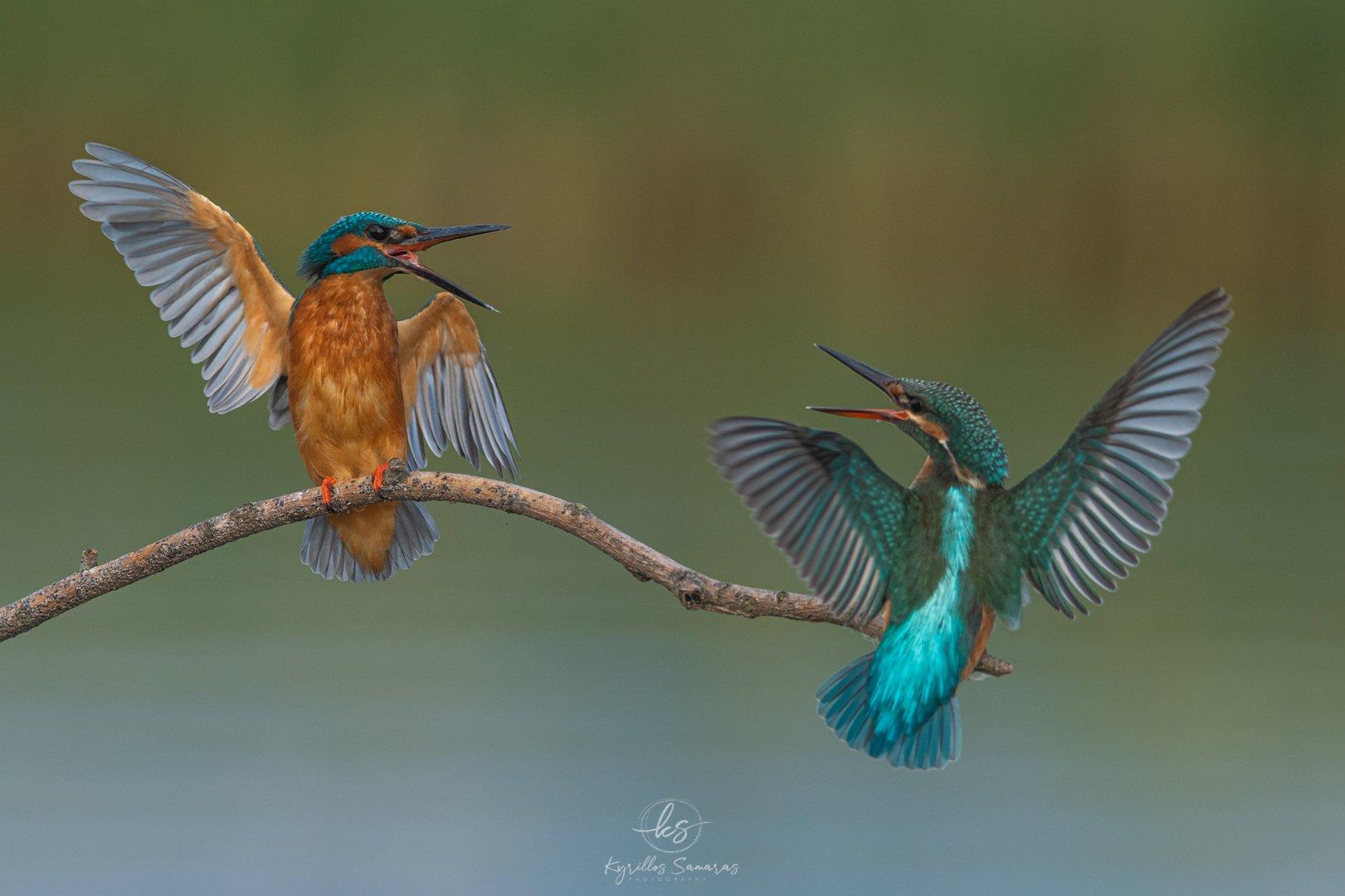 BIRDS_2020_10_14_Alcedoatthis_02.jpg